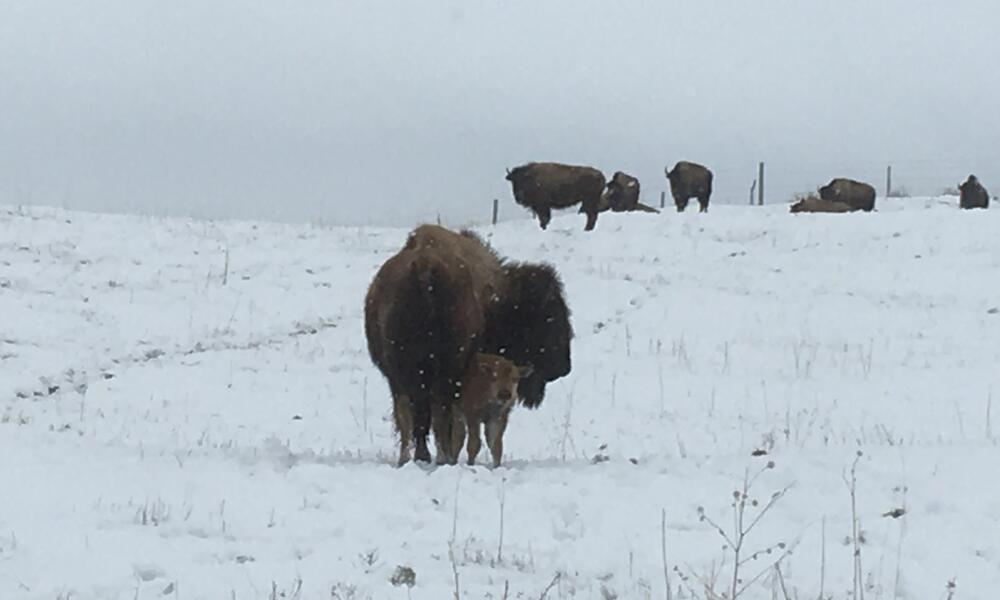 Bison cow and calf standing in a snowy field