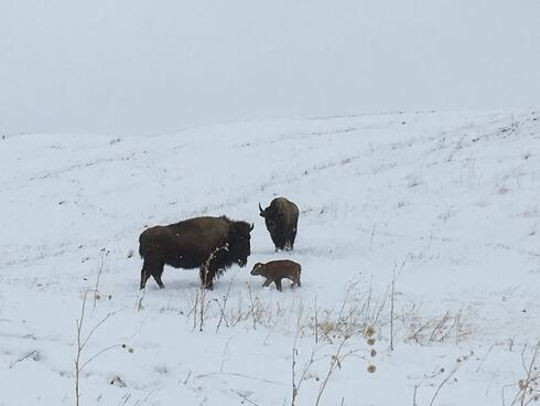 A bison cow and her calf stand in a snowy field