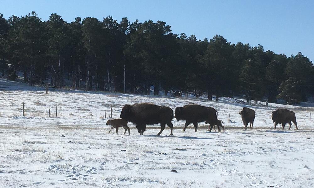 Bison calves wander among adult bison in the snow