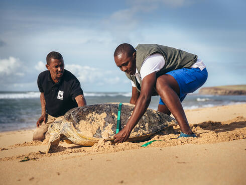 Two men use a tape measure to measure a green turtle on the beach in Kenya on a sunny day