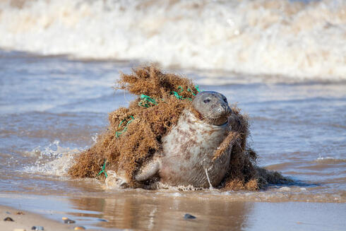 Plastic pollution harm to animals. Seal caught fishing net.