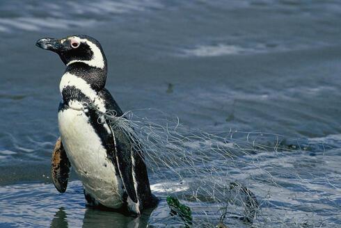 Magellanic penguin caught in fishing nets