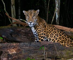a jaguar in the forest, at night, looking at the camera