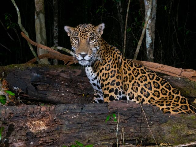 jaguar in Mexican forest as captured by camera trap