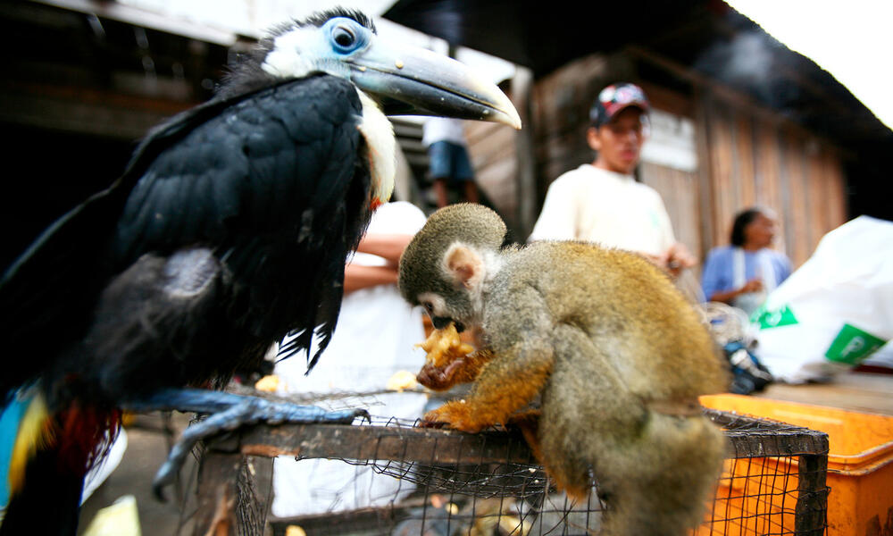A black toucan and small tan monkey tied to a cage by their legs at a market