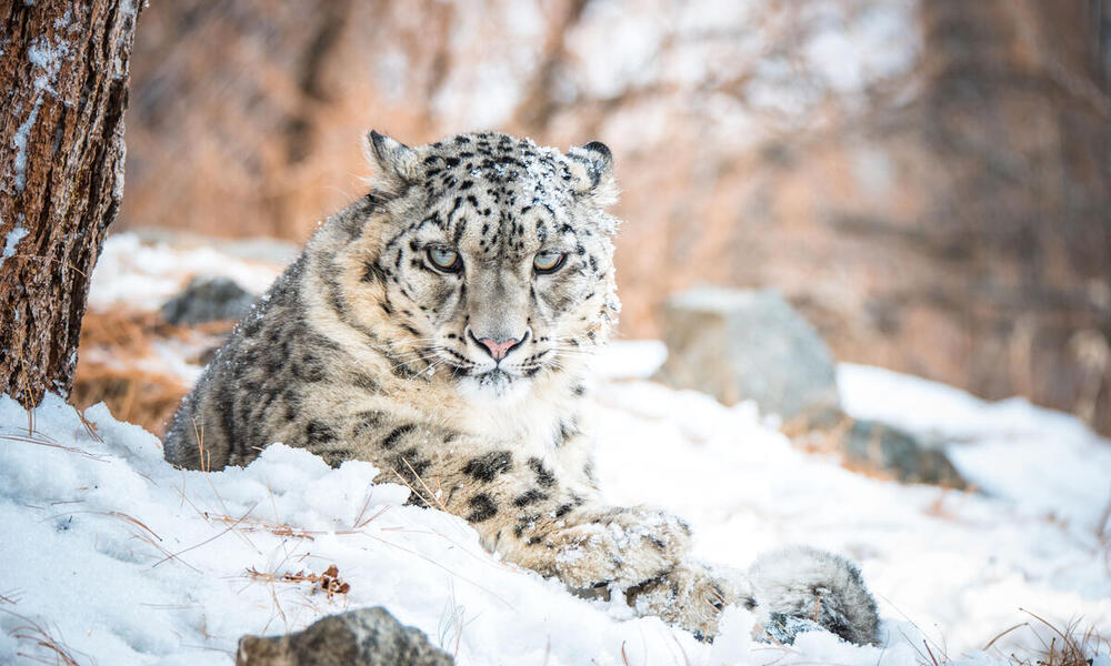 A snow leopard lying down in the snow looks directly at the camera