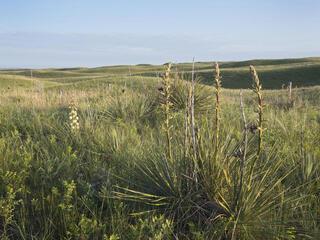 Yucca plant in the grasslands of Cody, Nebraska