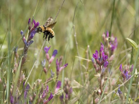 Yellow bumble bee in the grasslands of Nebraska