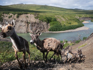 young caribou walk in a row up a steep mountainside with a river below them