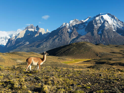 A guanaco stands on a green hillside with large, snow covered mountains rising up against a blue sky in the background