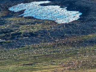 Aerial view of an expansive caribou herd in the arctic