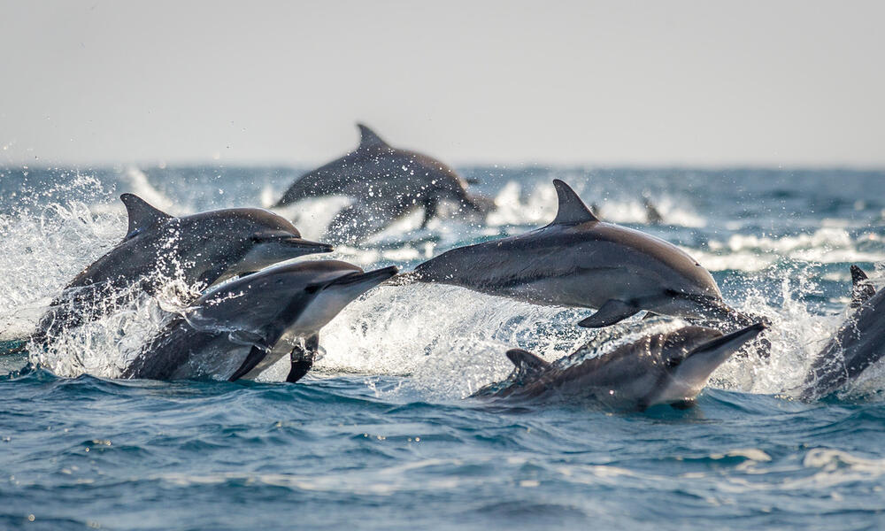 A pod of long snouted spinner dolphins break the surface