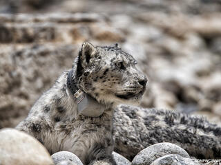 A snow leopard looks to the right wearing a satellite collar and sitting on a rocky slope