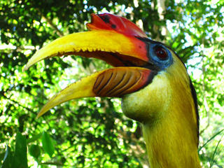 Wrinkled hornbills are often found on the banks of the Kapuas River.