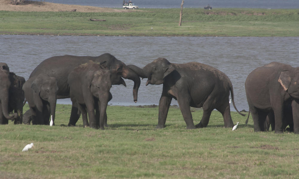 Sri Lankan Elephant Species Wwf