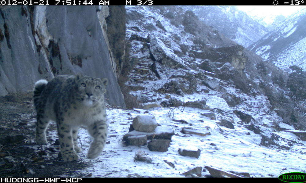 Snow leopard in Bhutan