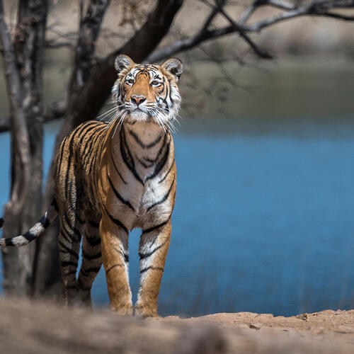 A female Bengal tiger stands regally in front of a lake in India.