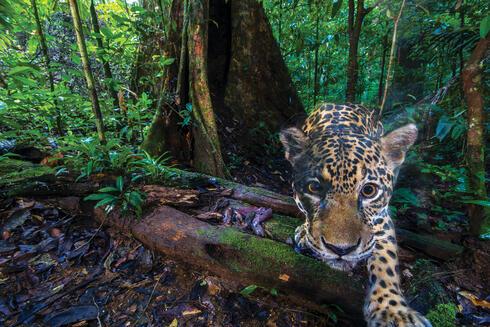 Jaguar captured looking at camera trap