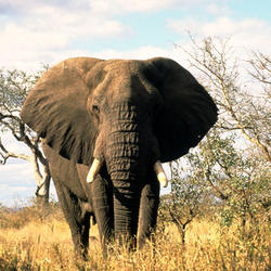 African elephant 08.23.2012 help