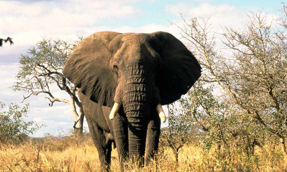Species Spotlight: African Elephant | Pages | WWF