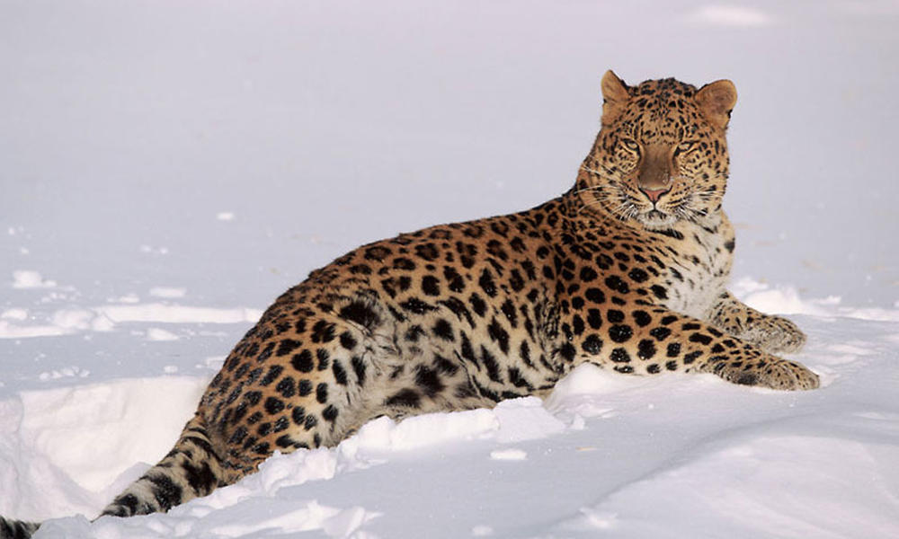 Amur Leopard Doubles in Number, WWF Experts Say | Biology | Sci ...