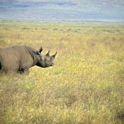 Black-rhino_08.23.2012_help