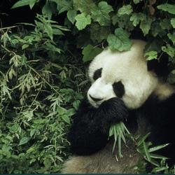 Giant panda 08.23.2012 help