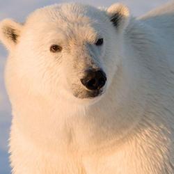 Polar bear 08.23.2012 help