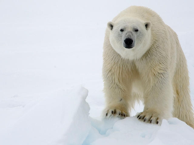 Polar Bear | Species | WWF