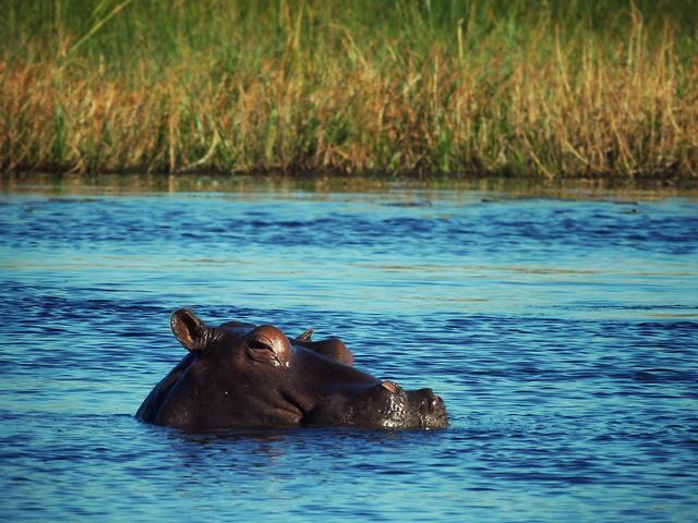 Botswana hippo travel 08