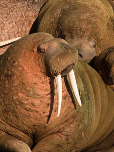 Pacific walrus (Odobenus rosmarus)