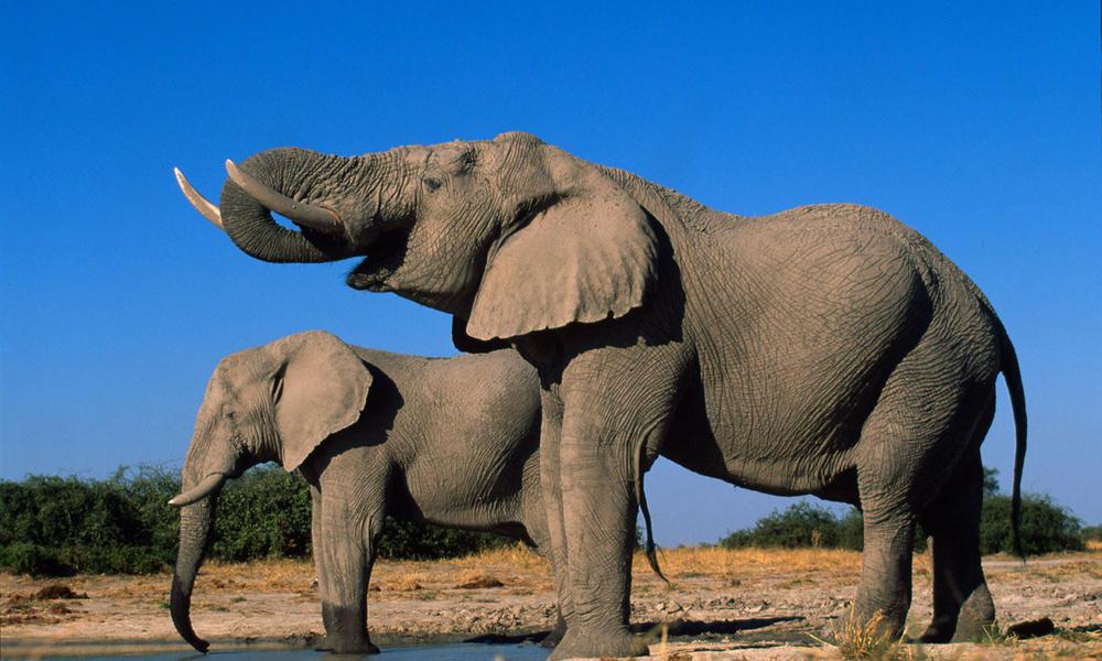 African elephant 58714 hero