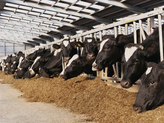 Dairy cows feeding