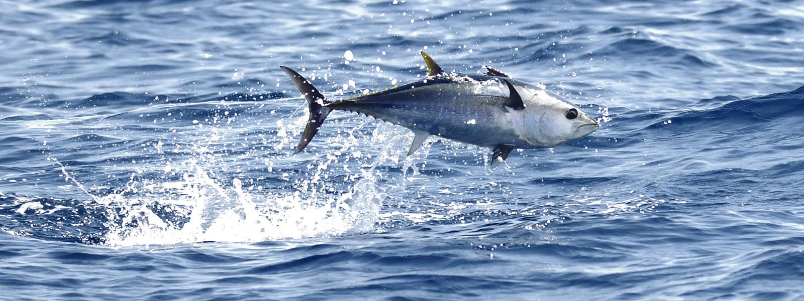 bluefin tuna species wwf