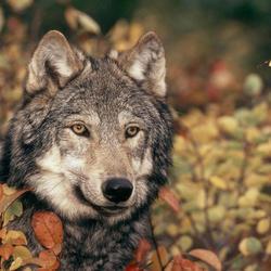 Grey wolf gpn54244 help