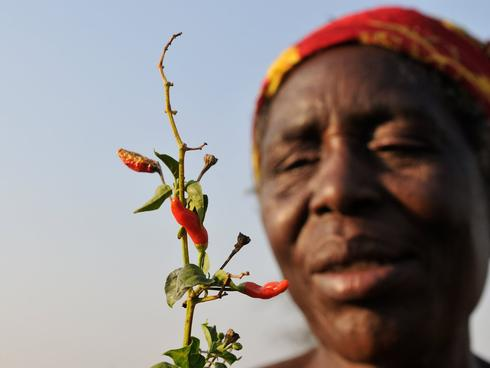 Chilli grower in Zambia