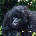gorilla xxx video beeg gamle mor sex
