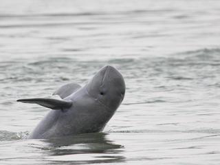 Irrawaddy dolphin breaching