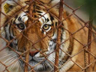 Captive Tiger