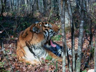 Amur Tiger Yawning