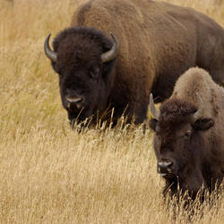 Help American Bison by supporting WWF