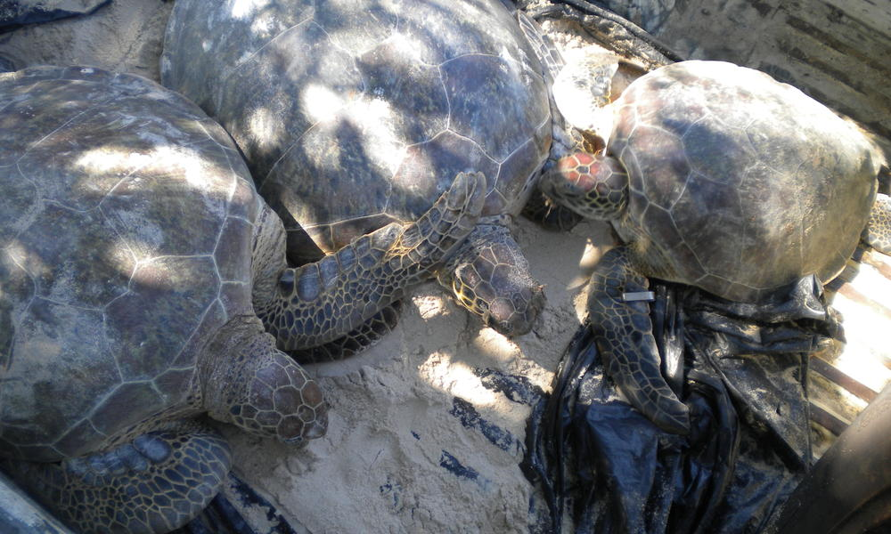 green turtle rescue