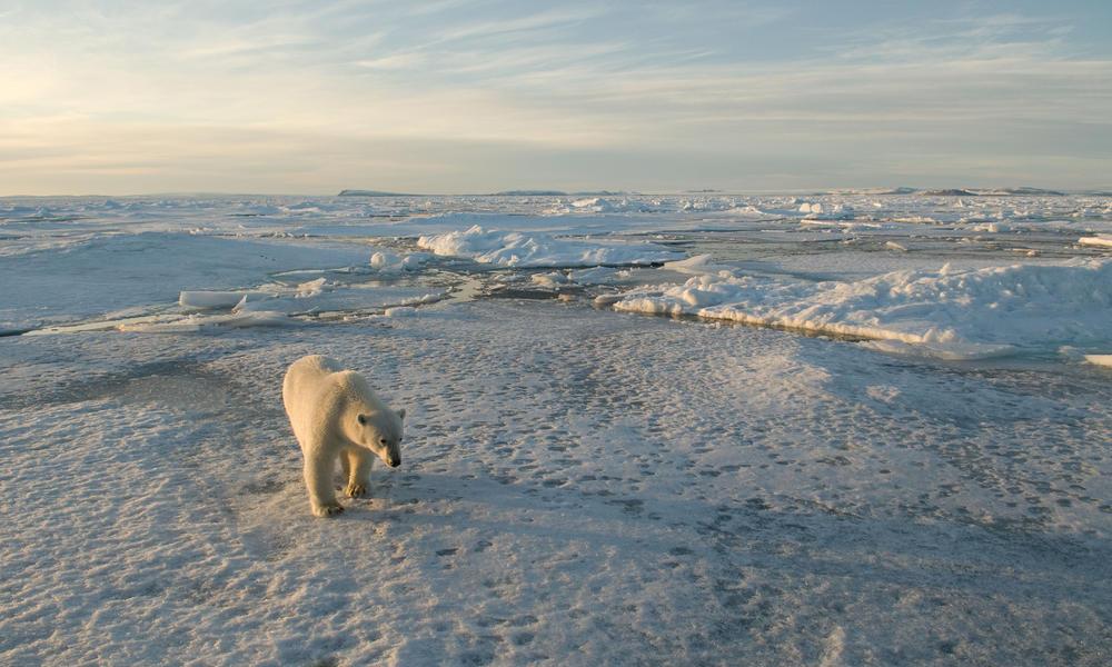 Gpn228513 polar bear  %28c%29steve morello wwf canon