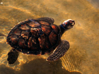 Loggerhead turtle in Mozambique