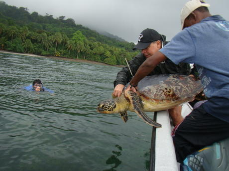 Releasing tagged turtle