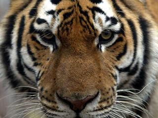 Tiger_gpn107007_species-index