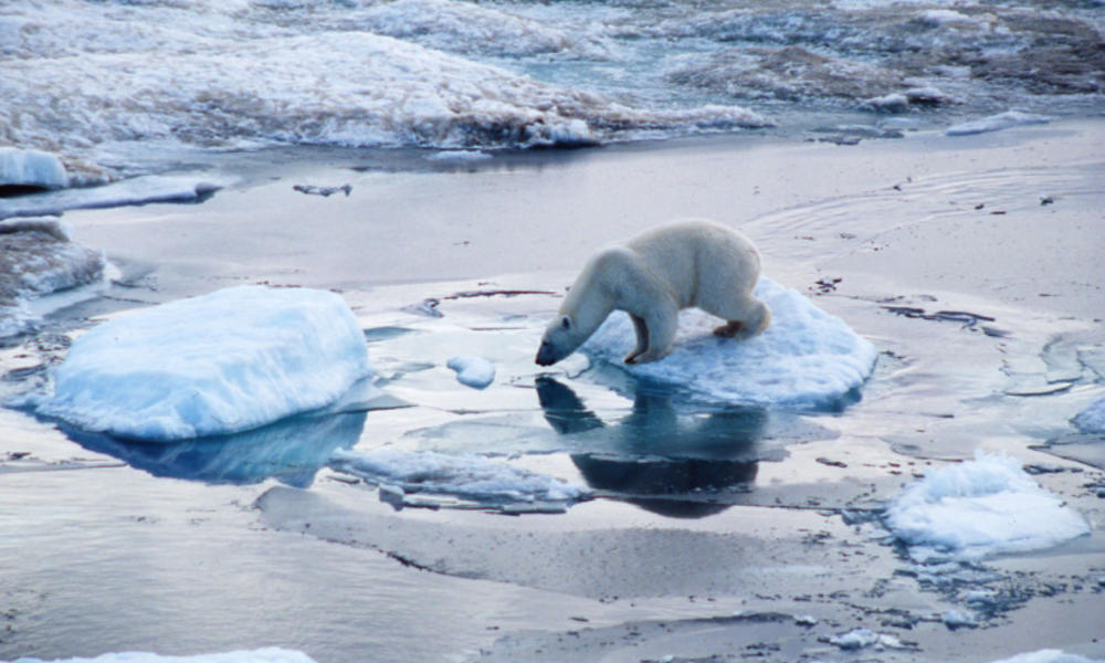 Polar bear on pack ice in the Arctic circle