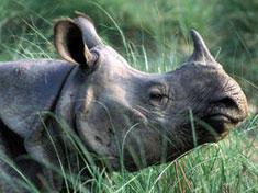 Small rhino