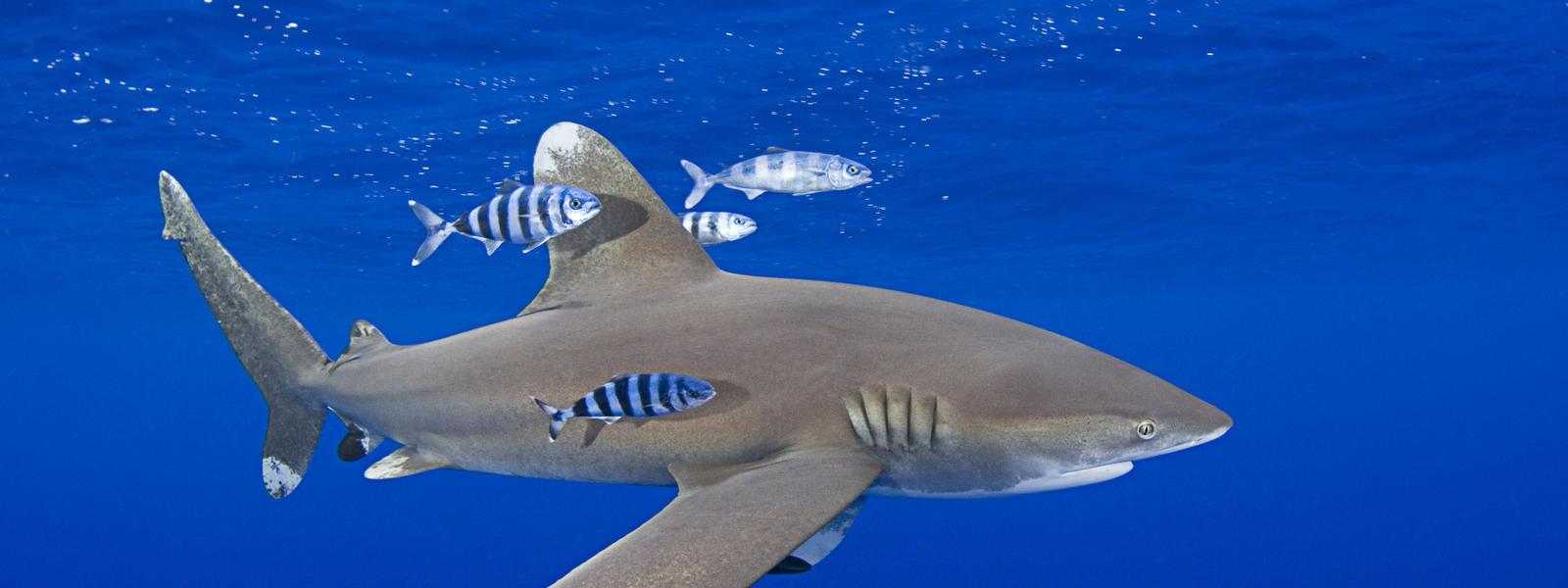 Uncategorized Shark Picture shark species wwf whitetip shark