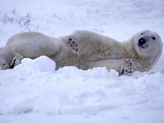 Gpn202733 polar bear